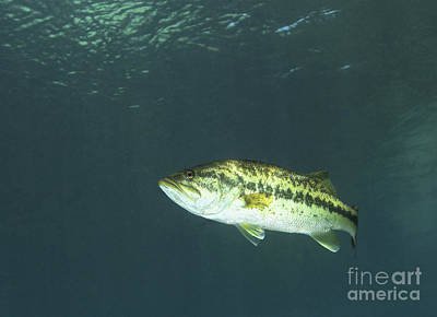 A Florida Largemouth Bass In The Clear Poster by Terry Moore