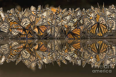 A Flutter Of Monarchs Drinking  Poster by Ingo Arndt
