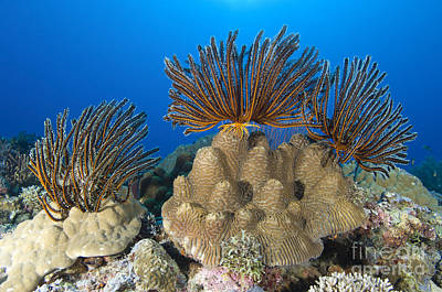 A Gathering Of Crinoid Feather Stars Poster