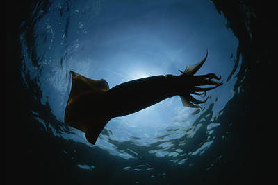 A Giant Or Humboldt Squid In Silhouette Poster
