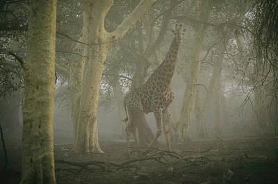 A Giraffe Walking In A Misty Forest Poster