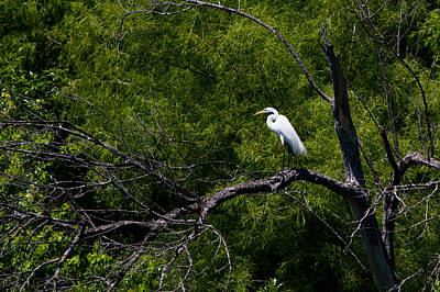 A Great Egret In A Green Forest Poster by Ellie Teramoto
