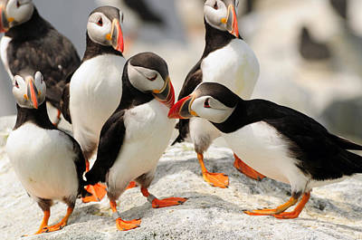A Group Of Atlantic Puffins On A Rock Poster by Darlyne A. Murawski