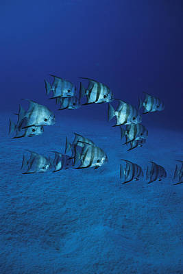 A Group Of Atlantic Spadefish Poster