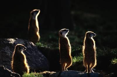 A Group Of Captive Meerkats Suricata Poster by Tim Laman