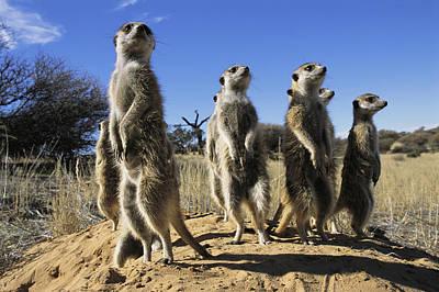 A Group Of Meerkats Standing Guard Poster by Mattias Klum
