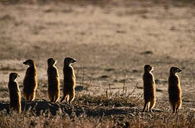 A Group Of Meerkats, Suricata Poster