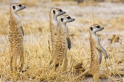 A Group Of Standing Meerkats, Suricata Poster by Karine Aigner