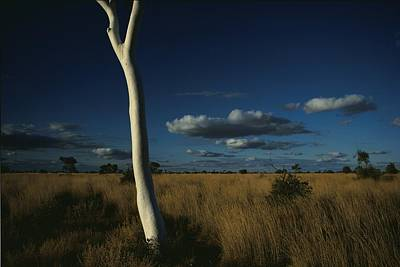 A Gum Tree Rises Above Grasses Poster by Medford Taylor