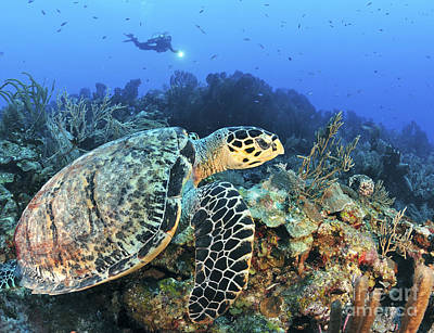 A Hawksbill Turtle Swims Poster