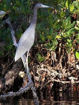 A Heron Type Bird In The Mangroves Poster by Judy Via-Wolff