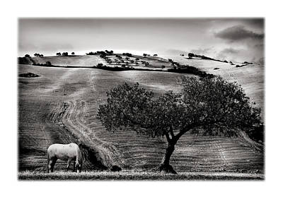 A Horse And An Olive Tree Poster by Mal Bray