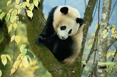 A Juvenile Giant Panda Poster