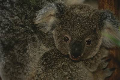 A Juvenile Koala Clings To Its Mother Poster