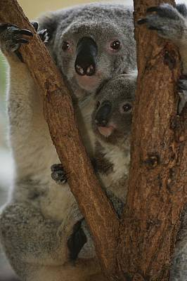 A Koala And Its Baby Cling Poster