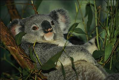 A Koala Bear Phascolarctos Cinereus Poster
