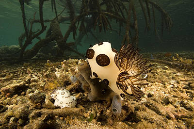 A Large Nudibranch Feeds On A Sponge Poster by Tim Laman