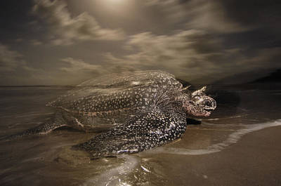 A Leatherback Turtle Nesting On Matura Poster