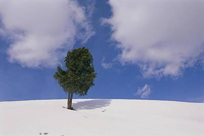 A Lone Whitebark Pine Tree On A Snowy Poster by Raymond Gehman
