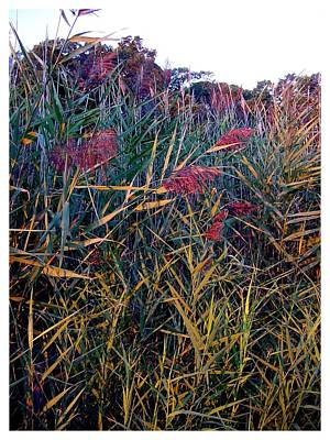 A Long Island Saltwater Grass In Bloom Poster