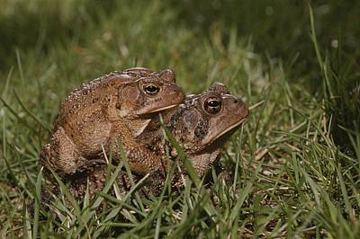 A Male And A Female American Toad Poster