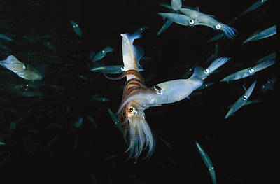A Male Opalescent Inshore Squid Wraps Poster