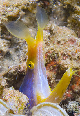 A Male Ribbon Eel Peering Poster
