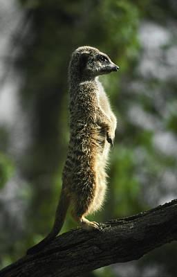 A Meerkat Alert And Proud Surveys Poster by Jason Edwards
