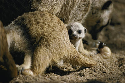 A Meerkat Pup Peers From Behind Parents Poster by Jason Edwards