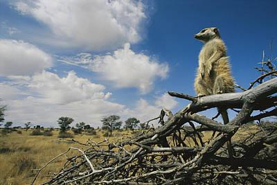 A Meerkat Sentinel Keeps Watch So Group Poster by Mattias Klum