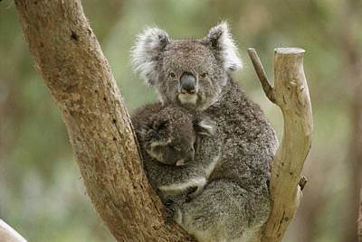 A Mother Koala And Baby In The Fork Poster