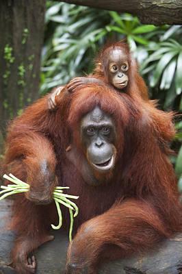 A Mother Orangutan Eats Vegetables With Poster by Deddeda