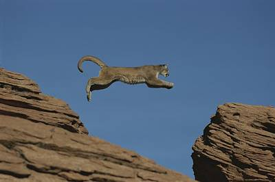 A Mountain Lion Leaps From A Rocky Poster