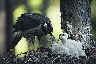 A Northern Goshawk Feeds Its Scrawny Poster by Michael S. Quinton