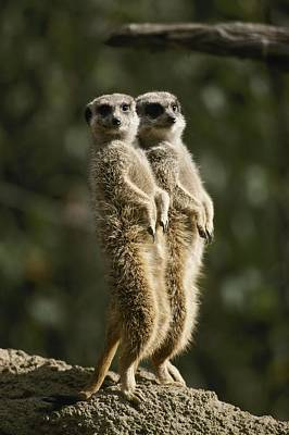 A Pair Of Meerkats Stand Watch Poster