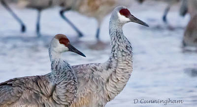 A Pair Of Sandhill Cranes Poster by Dorothy Cunningham