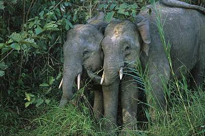 A Pair Of Young Asian Elephants Stand Poster by Tim Laman