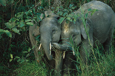 A Pair Of Young Asian Elephants Poster by Tim Laman