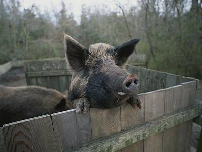 A Pig Looks Over The Side Of Its Pen Poster