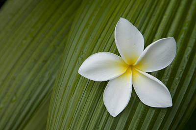 A Plumeria Flower Used In Making Leis Poster by John Burcham