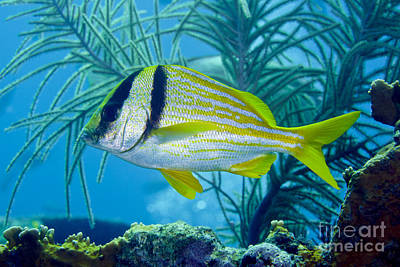 A Porkfish Swims By Sea Plumes Poster by Terry Moore