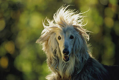 A Portrait Of An Afghan Hound Poster