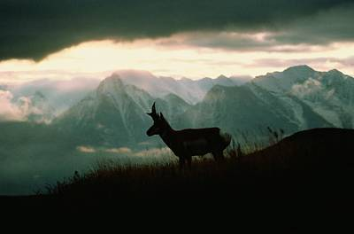 A Pronghorn Stands On A Grassy Hillside Poster by Sam Abell