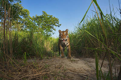 A Protected Tiger In Kaziranga National Poster
