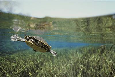 A Rare Suwannee Cooter Swims Poster by Bill Curtsinger