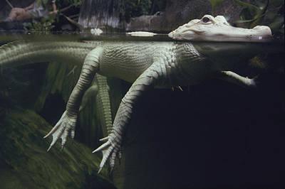 A Rare White Alligator In The Louisiana Poster