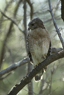 A Red Shouldered Hawk Perches In A Tree Poster by Klaus Nigge
