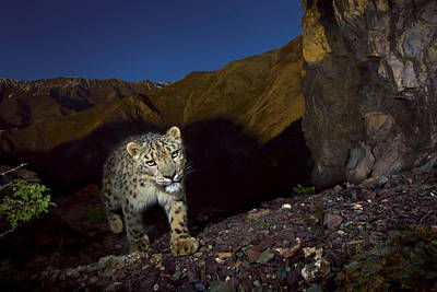 A Remote Camera Captures An Endangered Poster by Steve Winter