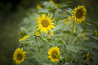 A Row Of Bright Yellow Sunflowers Grow Poster by Hannele Lahti