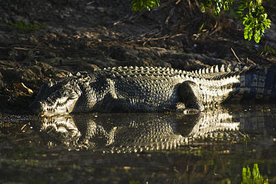 A Saltwater Crocodiles Leathery Scaled Poster
